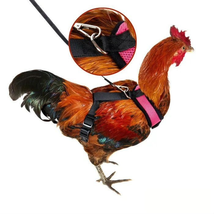 chicken harness