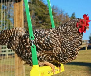 The Chicken Swing – Ain't no thang but a chicken swing. An activity for all breeds and ages of chickens to use in the coop Reducing coop boredom and bringing smiles to