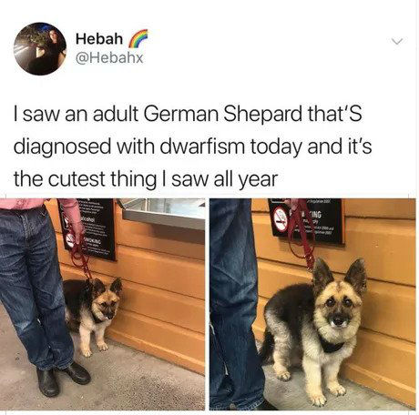 adult german shepard with dwarfism