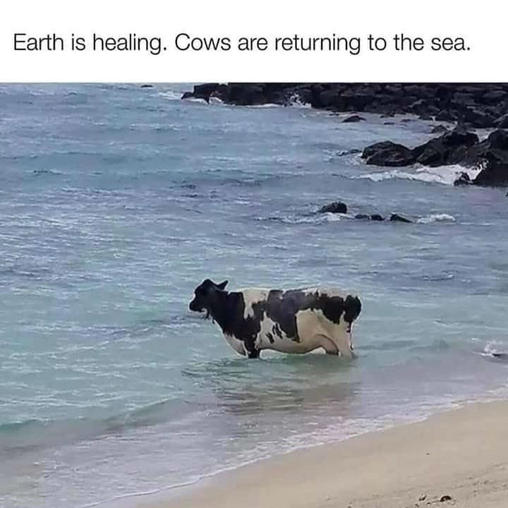earth is healing cows are returning to the sea meme