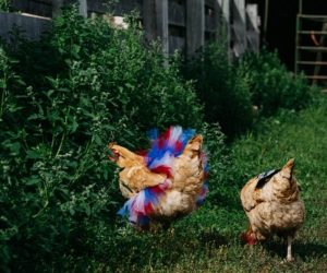 "Patriotic Chicken Tutu – Redefining the definition of ""dressed chicken"" with this fabulous tutu made for your chicken!"