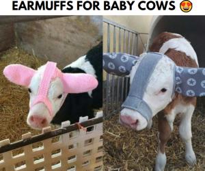 Moo Muffs – Earmuffs for baby cows!