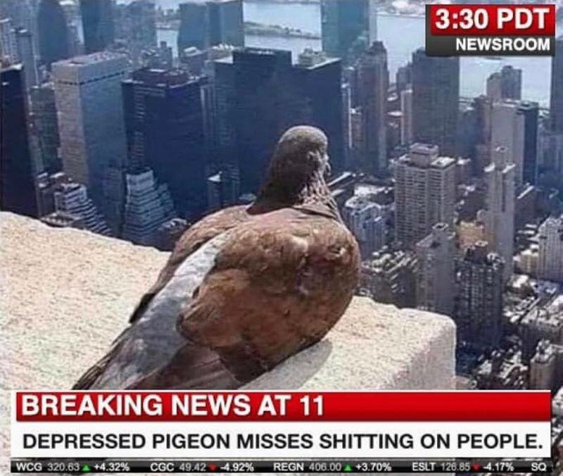 depressed pigeon misses shitting on people