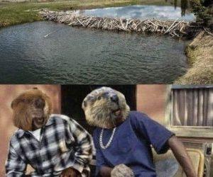 Beaver Dam Friday meme