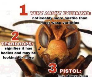 How To Spot A Murder Hornet – Meme